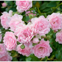 Роза Зе Фейри (почвопокровные)