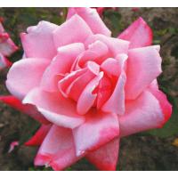Роза Утро Москвы(чайно-гибридная)