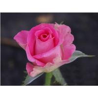Роза Topaz(чайно-гибридная)