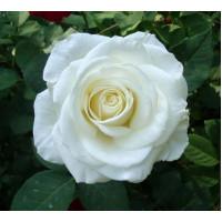 Роза Вирджиния(чайно-гибридная)