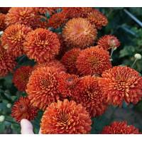 Хризантема Салютная (Среднецветковая/Оранжевая)