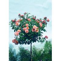 Роза Априкола (штамбовая)