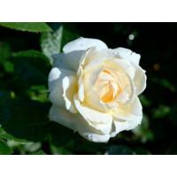 Роза Монд Жарден (плетистая)