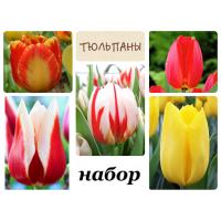 Комплект №1 из 10 луковиц тюльпанов