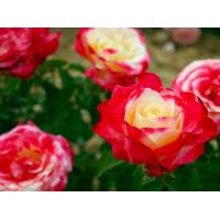 Роза мини Дабл Делайт (миниатюрные)