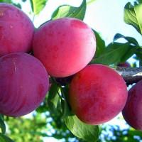 Алыча Десертная (Средняя/Красная)